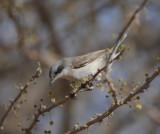 6. Lesser Whitethroat - Sylvia curruca