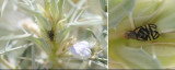 Tephritidae - True Fruit Flies (family): 6 species