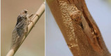 Cicadidae - Cicadas (family): 1 species