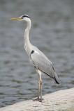 3 Grey Heron - Ardea cinerea