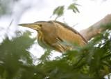 2. Little Bittern - Ixobrychus minutus