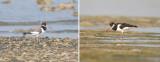 Haematopodidae - oystercatchers (family): 1 species