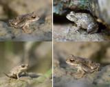 AMPHIBIA - Amphibians (class): 1 species