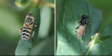 Syrphidae - Hover Flies (family): 10 species