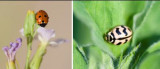Coccinellidae - Ladybirds (family): 3 species