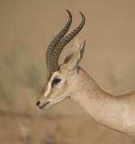 2. Arabian Gazelle (or Mountain Gazelle) - Gazella gazella