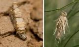 Psychidae (Bagworm moths):1 species