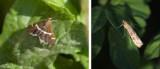 Crambidae (family of moths): 20 species