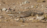 4. Baluch Ground Gecko - Bunopus tuberculatus