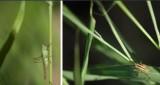 Tettigonidae - Bush Crickets (family): 1 species