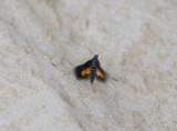 3. Heliothela ophideresana (Walker, 1863)