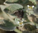 4. Ephelis flavomarginalis (Amsel, 1951)