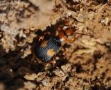 3. Pheropsophus (Stenaptinus) africanus (Dejean, 1825)