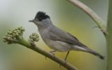 8. Eurasian Blackcap - Sylvia atricapilla