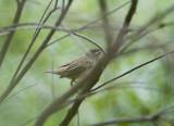 4. Sedge Warbler - Acrocephalus schoenobaenus