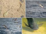 OSTEICHTHYES - Bony Fish (class): 1 species