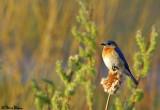 Bluebird on Cattail