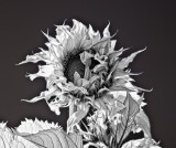 Sunflower-BW-1-sharp.jpg