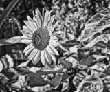 Sunflower-IR-2-darker.jpg