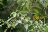 Pycnonotus atriceps atriceps