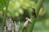 Arachnothera chrysogenys