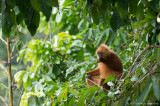 Maroon leaf monkey