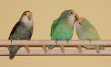 lovebirds_DSC4698.jpg