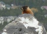 Yellow-Bellied Marmot near AMI Trail P1050113.jpg
