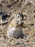 Red Squirrel at 8121 _DSC5928.jpg