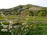 Chinese Peak with Blooming Young Apple Tree IMG_0191.jpg