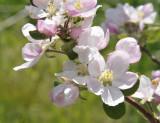 apple blossoms _DSC7536.jpg