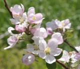 apple blossoms _DSC7539.jpg