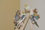 Baby cockatiels at play _DSC6838.jpg