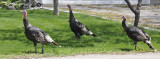 Wild Turkeys _DSC6916.jpg