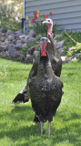 wild turkeys in someones yard _DSC6940.jpg