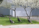wild turkeys with domestic blooming trees _DSC6922.jpg