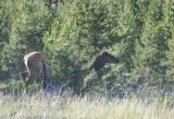 Cow Elk _DSC8614.jpg