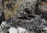 Osprey and Babies at Canyon of Yellowstone _DSC9267.jpg