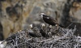 osprey and babies in nest at Canyon Yellowstone _DSC9318.jpg