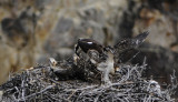 ospreys in nest with one baby spreading wings _DSC9242.jpg