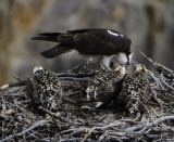 osprey feeding middle baby in nest in middle of canyon yellowstone _DSC9069.jpg