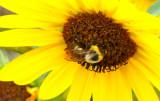 Pocatello sunflower with bee P1060321.jpg