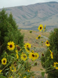 typical pocatello summer scene with sunflowers and mountain P1060323.jpg