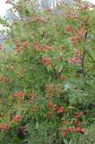 wild rose bush with rose hips _DSC1102.jpg