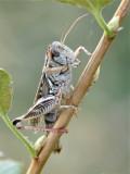 grasshopper _DSC1489.jpg
