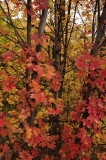 City Creek Fall Foliage - Pocatello _DSC1822.jpg