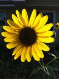 sunflowers IMG_1224.jpg