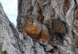 ISU fox squirrel DSCF5236.jpg