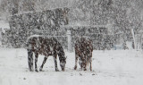 neighbors horses grazing in snow DSCF5208.jpg