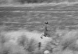 mule deer filtered _DSC4201.jpg